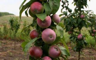 Яблони для ленинградской области: сорта и виды, какие лучше сажать + отзывы