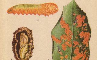 Вишня любская, описание сорта, фото и отзывы, особенности выращивания и ухода