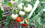 Индетерминантные сорта томатов для теплиц: детерминантные лучшие помидоры, полудетерминантные и супердетерминантные