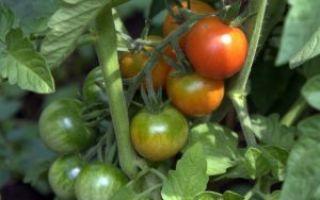 Подкормка помидоров в теплице: чем подкормить томаты после высадки, теплица из поликарбоната, дрожжи и удобрения