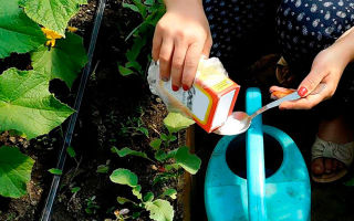 Болезни огурцов в теплице и их лечение: фото, белые заболевания, борьба с вредителями, кто ест, пероноспороз
