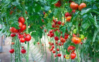 Как ускорить созревание помидор в теплице: растут мало томаты, почему не зреют и плохо спеют, что делать