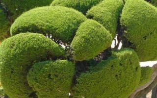 Бонсай сосны: фото, из обыкновенной, садовый из черной, стратификация зимовки на участке, как сделать