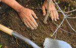 Вишня молодежная, описание сорта, характеристика и отзывы, особенности выращивания