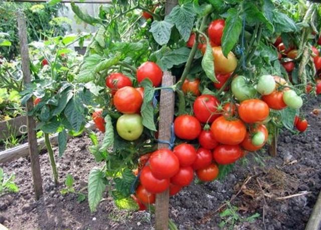 штамбовые сорта помидор для теплиц