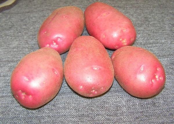Сорт картофеля Беллароза, описание, фото, характеристика и отзывы, а также особенности выращивания