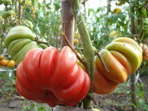 Средние помидоры в теплицу: среднерослые сорта, томаты среднеспелые
