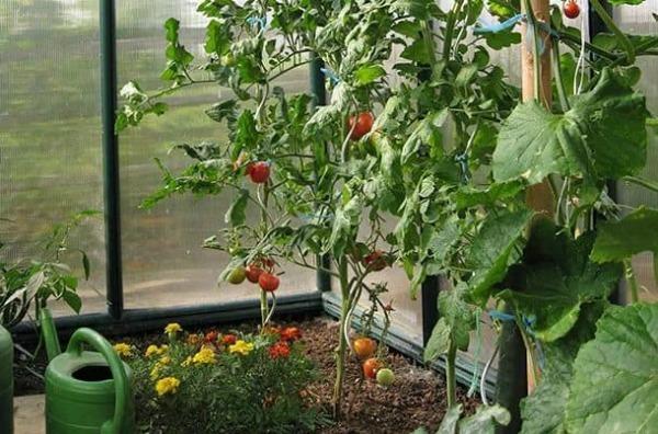 Как часто поливать помидоры в теплице: полив из поликарбоната томатов, правильные пластиковые бутылки