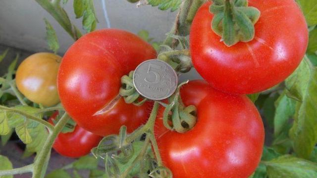 Помидоры для сибири крупный сладкий лучшие сорта. Выращивание томатов в сибири в теплице