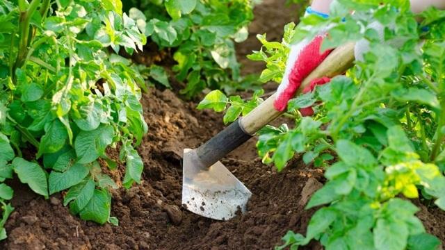 Посадка картофеля, когда лучше проводить, а также описание способов посева