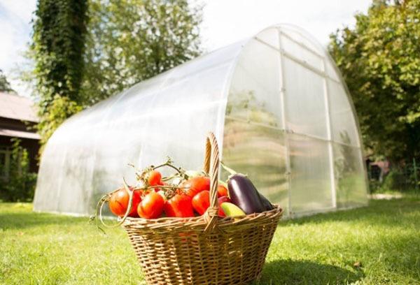 Как сажать в теплице: в парнике посадка и выращивание, правильная подготовка и ранние посевы бычьего сердца