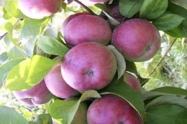Лучшие сорта яблони для сибири сладкие
