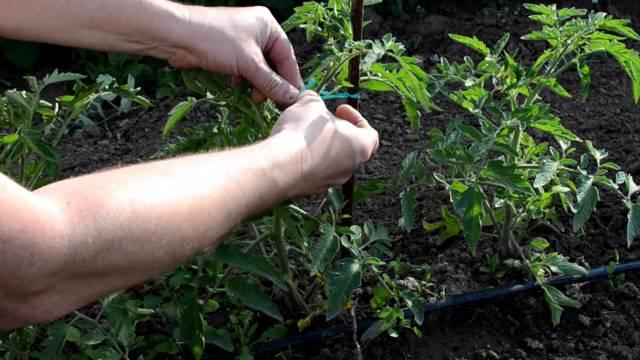 Семена помидор для теплицы самоопыляемые: как опылять сорта томатов, какие препараты нужны, видео