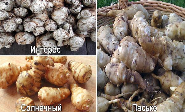 Выращивание топинамбура, в том числе, как ухаживать за растением в открытом грунте, а также описание сортов с характеристикой и отзывами