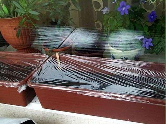 Как вырастить бонсай в домашних условиях: из семян, уход за комнатной сакурой, как посадить и прорастить кармону