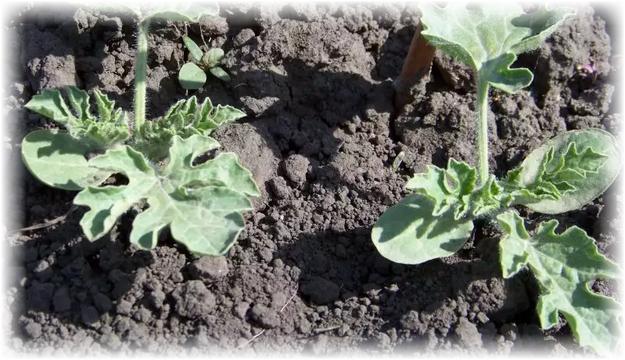 Как вырастить арбуз на Урале: посадка в теплице своими руками