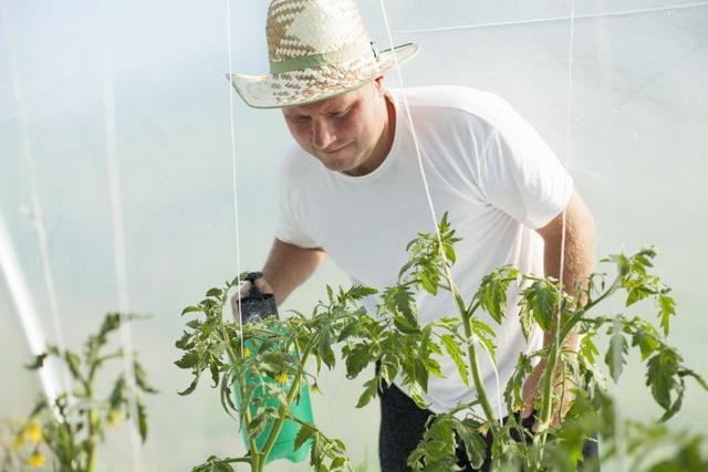 Опрыскивание помидоров в теплице: борная кислота, как опрыскивать томаты