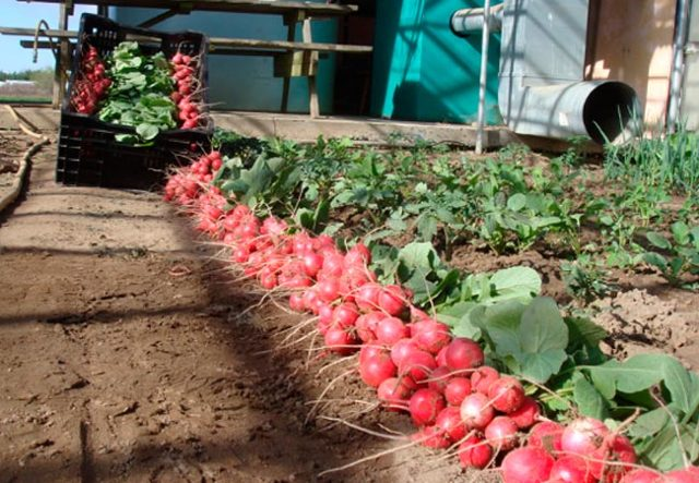 Ранний редис в теплице: сорта, посадить и вырастить, видео