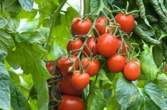 Томаты для теплицы лучшие сорта отзывы: 2020 помидоры хорошие, какие сажать, самые штамбовые и популярные