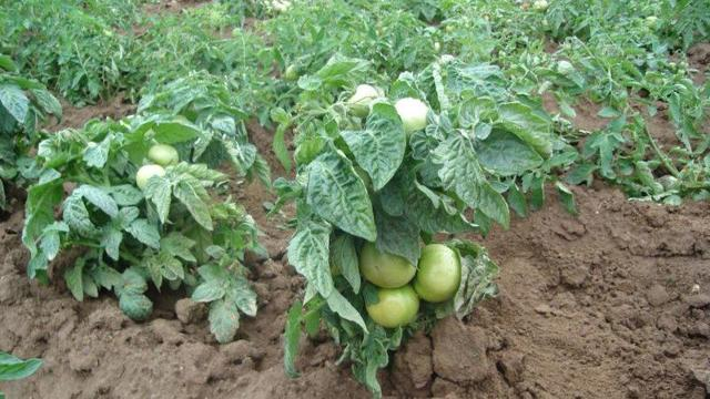 Сорта низкорослых томатов для теплиц: помидоры лучшие, семена самоопыляемые невысокие, самые урожайные