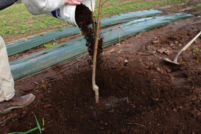 Сорт абрикоса Черный Принц: описание с фото, посадка, опылители