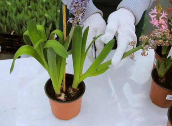 Выращивание роз в теплице на продажу: цветы и бизнес, петунии и видео, выгонка гиацинтов к 8 марта, план