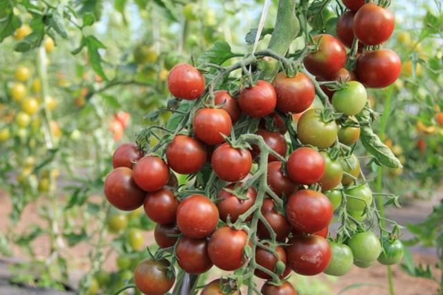 Пятна на помидорах в теплице: на листьях томата желтые и белые, бурая пятнистость и светлые покрылись