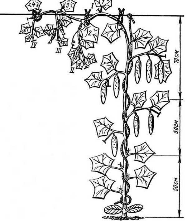 Как формировать огурцы в теплице видео: уход за кустами и схема правильная, огурец сформировать из поликарбоната