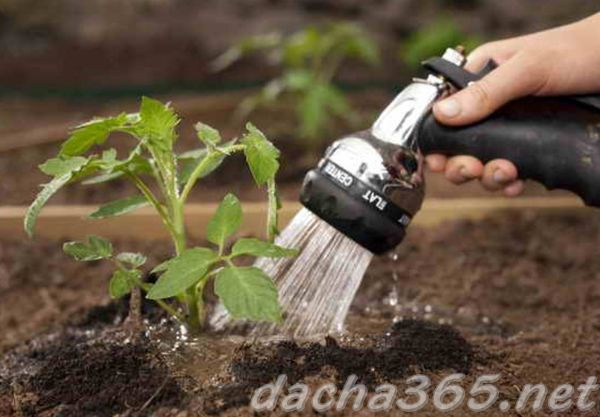 Помидоры в теплице из поликарбоната: выращивание и уход, как высаживать при посадке, как вырастить и высадки сроки
