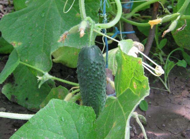 Какие огурцы самые урожайные для теплиц: длительное плодоношение, урожайность и сколько с куста получить