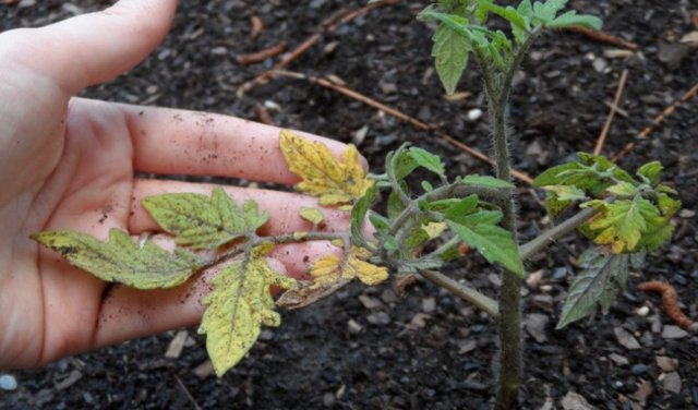 Желтеют листья помидоров в теплице: почему и что делать, пожелтели томаты, побелели и сохнут