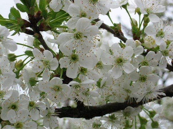Сорт вишни Шоколадница, описание, характеристика и отзывы, особенности выращивания
