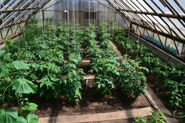 Как подвязывать помидоры в теплице: подвязка в теплице из поликарбоната, видео, правильные способы для томатов