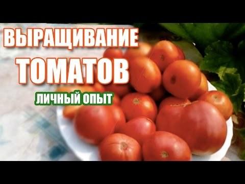 Выращивание помидор в теплице: томаты как вырастить, уход и видео правильное, Де Барао и секреты в парнике
