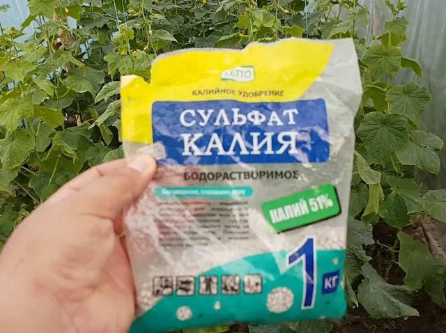 Сорта огурцов с длительным периодом плодоношения