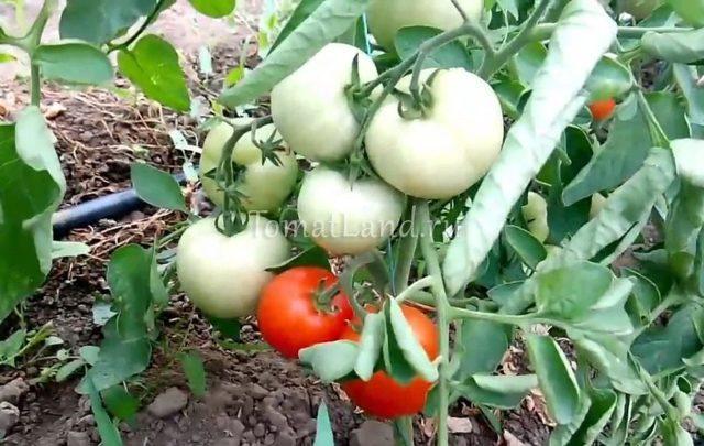 Детерминантный сорт помидоров что это: понятие, виды, плюсы и минусы