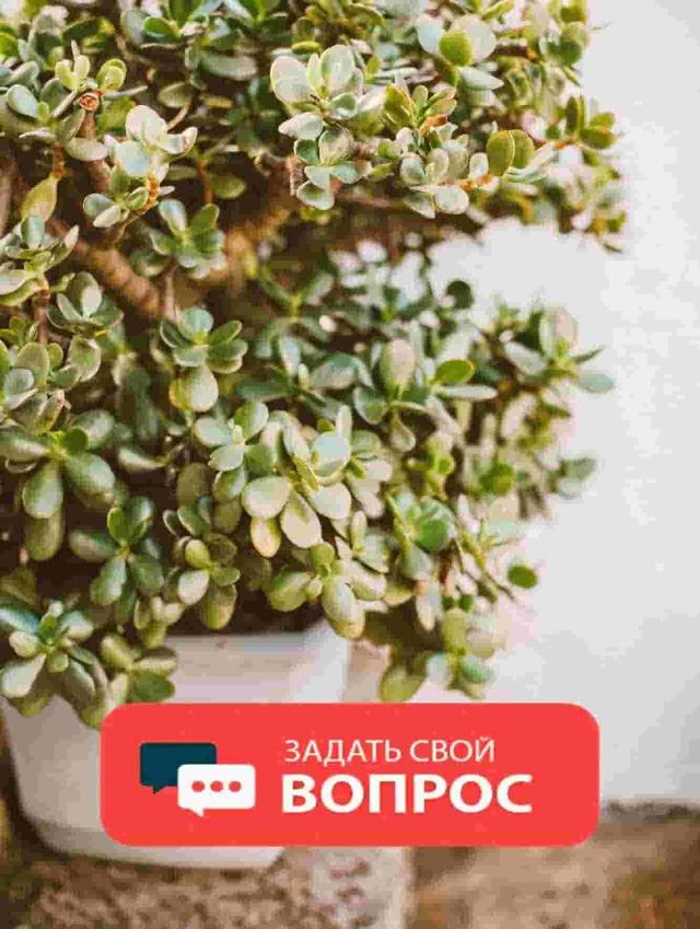 Бонсай фикус: бенджамин своими руками, уход за микрокарпа в домашних условиях, фото и мастер-класс, как сделать
