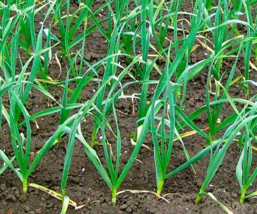 Что выращивать в теплице зимой: что сажать и как посадить, построить для зимнего выращивания, чеснок и культуры