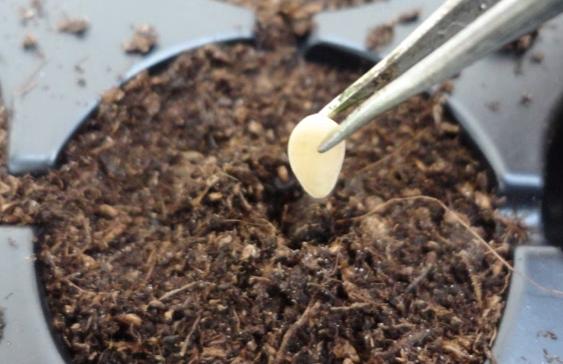 как высаживать семена огурца