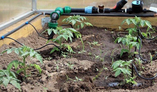 Подкормка перцев в теплице: как часто поливать, поликарбонат, правильное удобрение, в парнике