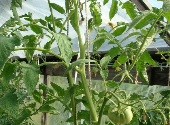 Как пасынковать помидоры в теплице пошагово: правильная схема и видео, томаты без пасынкования