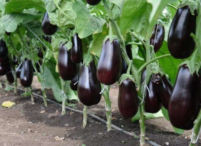 Баклажаны и перцы в одной теплице: сажать и выращивать, посадить перец вместе