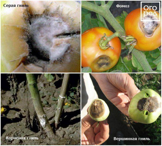 Болезни томатов в теплице фото и лечение: борьба за помидоры, гусеницы едят поликарбонат, вредители и заболевания