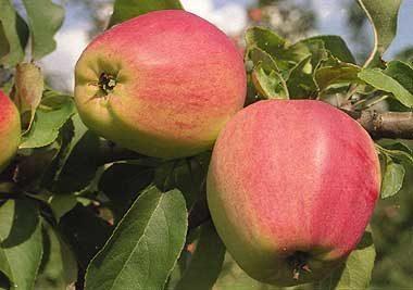 Летние сорта яблонь: описание и характеристика вида, достоинства и недостатки + фото яблок