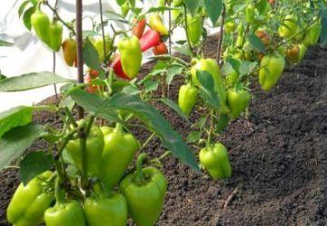 Перец для теплиц из поликарбоната: лучшие сорта, выращивание и высадка, посадка по видео, схема парника