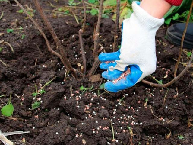 Уход за малиной после сбора урожая в июле и августе — чем подкормить и что еще делать