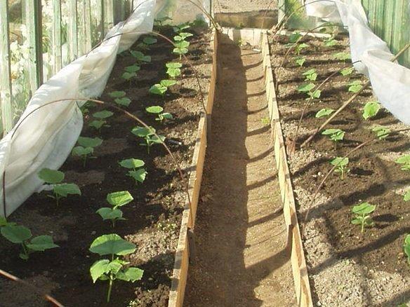 Посадка огурцов в теплице: как сажать правильно, посадить и высаживать, видео и уход после высадки, как растить