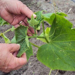 Как обрезать огурцы в теплице: правильная схема, листья удалять нужно, боковые побеги подрезать, фото