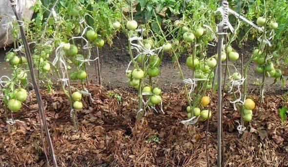Мульчирование томатов в теплице: как мульчировать помидоры, мульча газетами, видео