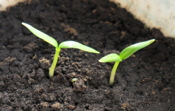 Посадка картофеля семенами, в том числе когда лучше проводить, а также как вырастить рассаду в домашних условиях
